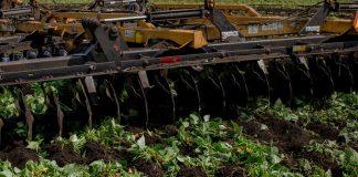Máy cày phá nát thửa đậu đang xanh tốt tại một trang trại ở Florida. Ảnh: New York Times.